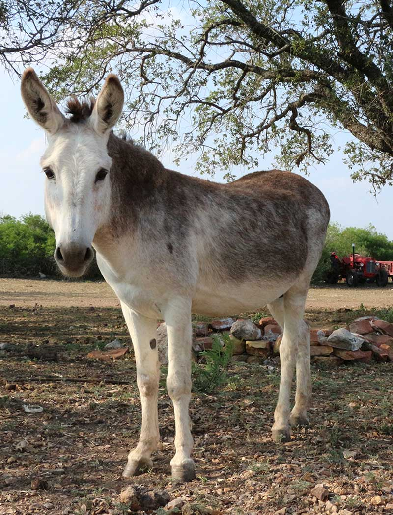 meet-the-donkeys-clyde-picaranch-texas