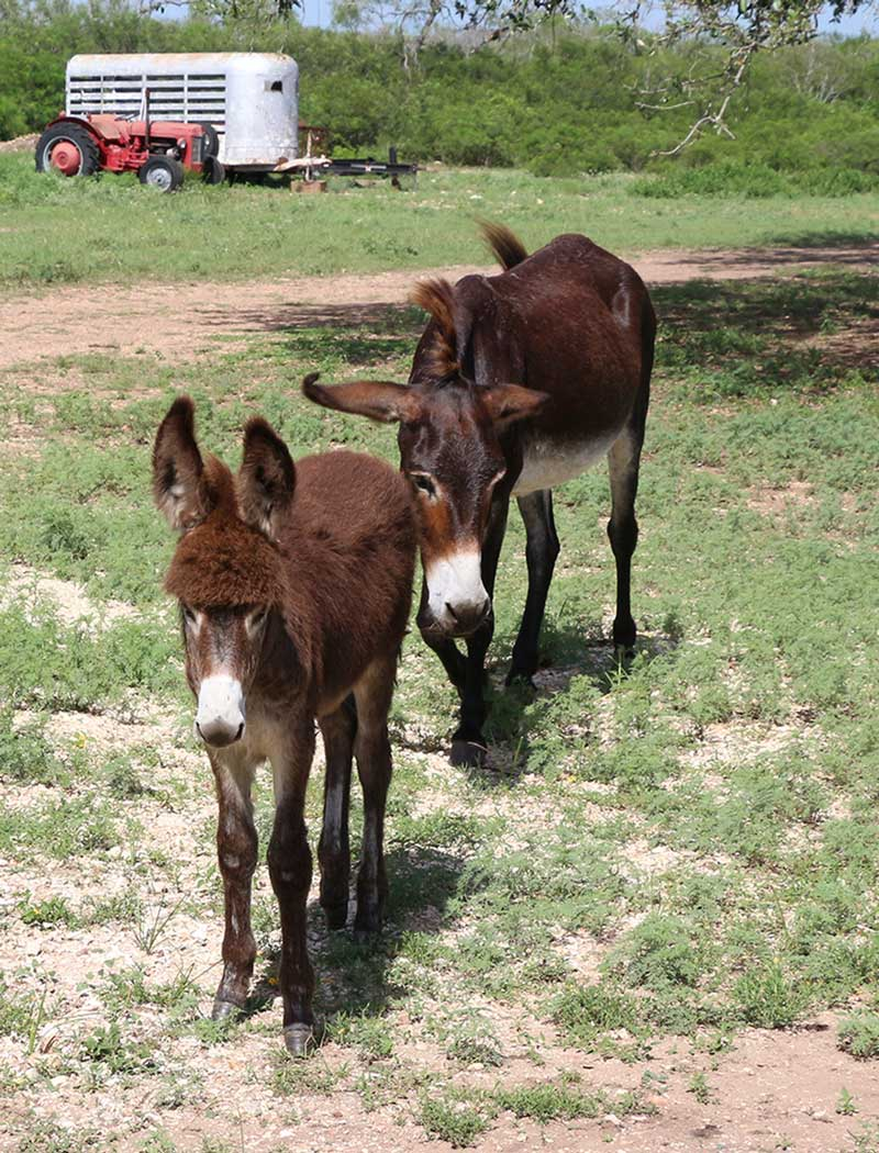 meet-the-donkeys-all-picaranch-texas
